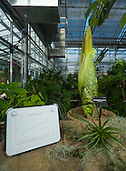 corpse flower corpse flower growing