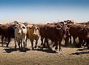 Brunette Downs Cattle Station is situated on the Barkley tablelands in Australia's Northern Territory. One of Australia's largest cattle stations..