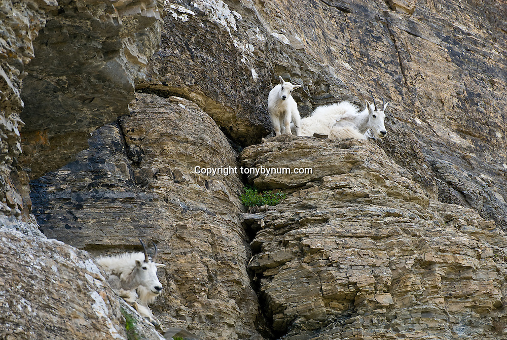 mountain goats on rocky cliffs, glacie national park, flathead national forest, crown of the continent