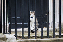 Downing Street, London, August 2nd 2016. Tensions appear to be ongoing in Downing Street as Larry the cat from No. 10 and Palmerston, newly resident at the Foreign Office continue their territorial feud. PICTURED: From behind the safety of the railings at No 10 Larry stares across the street at Palmerston.