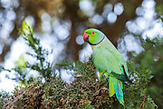 Israel, male Rose-ringed Parakeet (Psittacula krameri), AKA the Ringnecked Parakeet in a tree. The Rose-ringed Parakeet has established feral populations in various parts of the world including Israel, competes with the local wildlife and is considered a pest