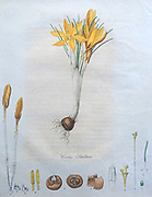 A crocus (Crocus stellaris): entire flowering plant and its anatomical segments. Coloured etching, c. 1812.