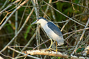 Black-crowned Night Heron (Nycticorax nycticorax), Arthur R Marshall National Wildlife Reserve - Loxahatchee, Florida, USA.    Photo: Peter Llewellyn