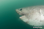 salmon shark, Lamna ditropis, Prince William Sound, Alaska, U.S.A.