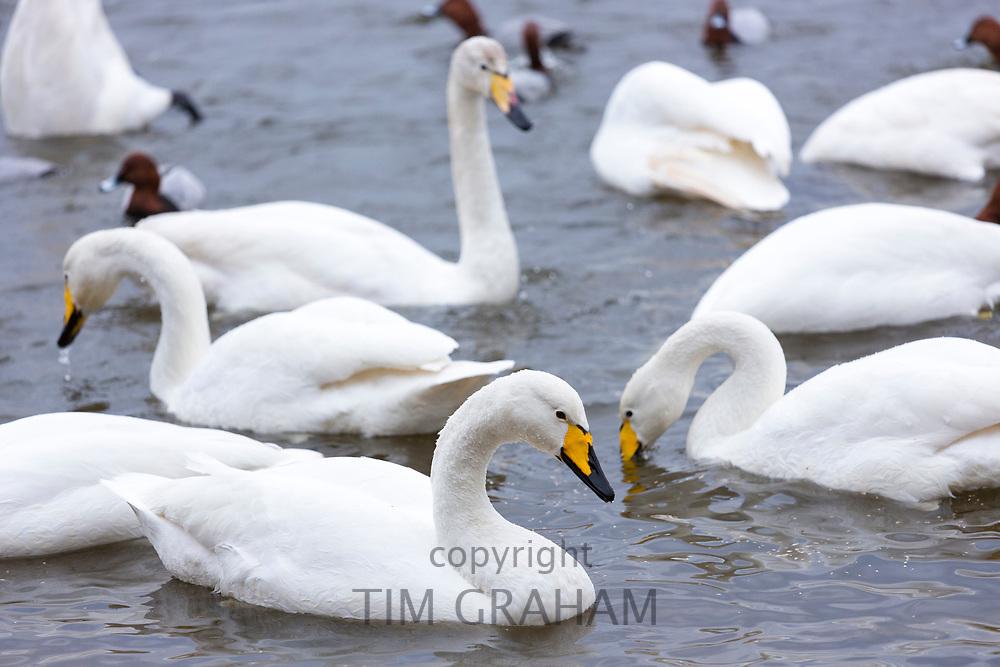 Group of Whooper Swan, Cygnus cygnus, at Welney Wetland Centre, Norfolk, UK