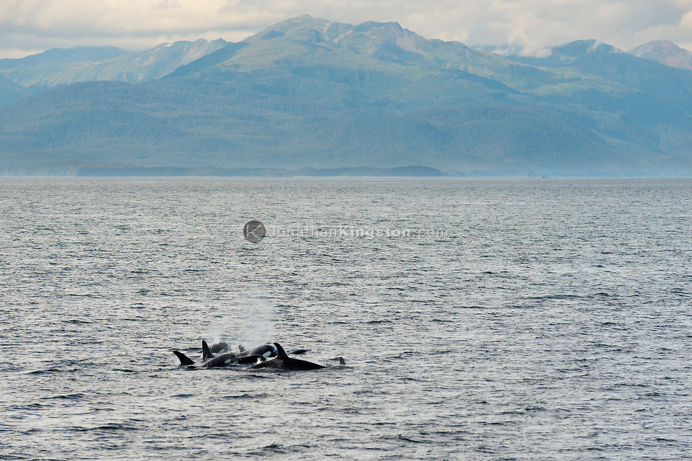 Seven killer whales (Orcinus orca) swimming in the waters of south east Alaska's inside passage.