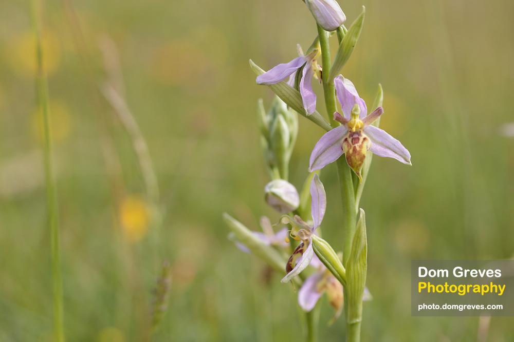 Wasp orchid (Ophrys apifera var trollii). Dorset, UK.
