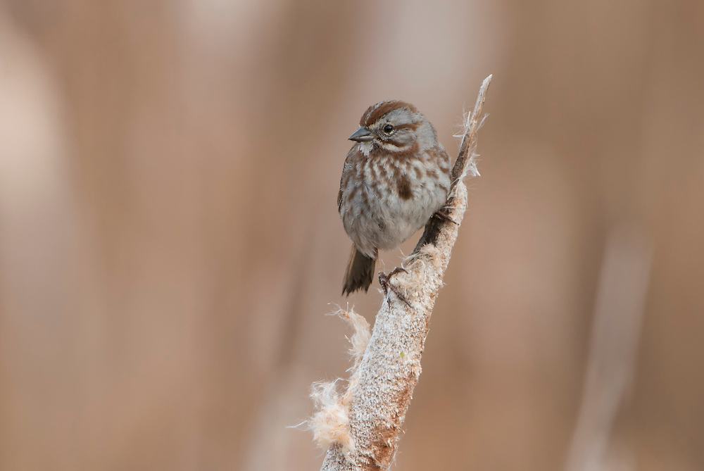 A Song Sparrow (Melospiza melodia) perched on a cattail, Lee Metcalf National Wildlife Refuge, Montana