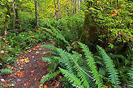 Sword Ferns (Polystichum munitum) line a path through the Vine Maple Forest at Campbell Valley Park in Langley, British Columbia, Canada