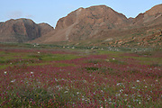 After a rare rainy season in the Judaea Desert and on the shores of the Dead Sea an abundance of wildflowers sprout out and bloom. Knotweed sorrel (Rumex cyprius syn Rumex roseus) Photographed on the shores of the Dead Sea, Israel at sunset in February