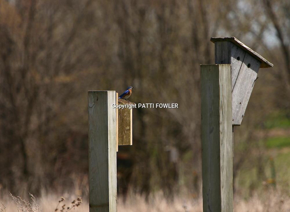 Bluebird searching for nest box