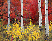 Idaho, Aspens and Mountain Maples in autumn in the Caribou Mountains, a forest painted