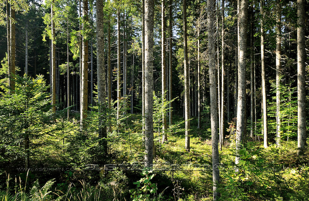 Spruce. Summer mountain fir in Alps.