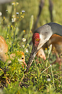 Sandhill crane feeds downy chick, © 2014 David A. Ponton