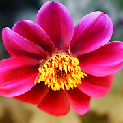 """""""Turning Me Upside Down""""<br /> <br /> A lovely pink and purple Dahlia with its bright yellow center turned downward in its garden surroundings!!<br /> <br /> Flower and floral images by Rachel Cohen"""