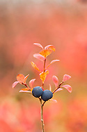 Closeup of ripe Bog Bluberries near the Denali Highway in the Maclaren River Valley in Interior Alaska in late autumn. Morning.