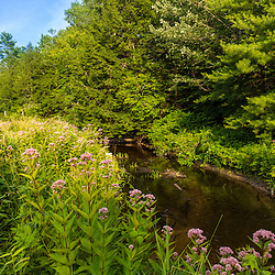 Joe-pye weed, Eupatorium, line the Oyster River in Madbury, New Hampshire.
