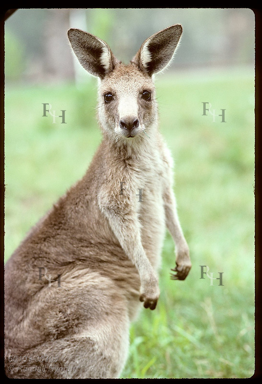 Barely one meter tall, the wallaroo, or euro, is the smallest and furriest of kangaroos; Wagga,NSW Australia