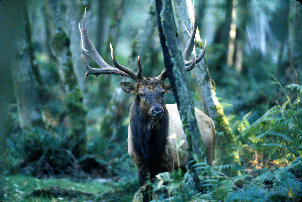 The Roosevelt elk, also known as Olympic elk, is the largest of the four surviving subspecies of elk in North America. They live in the rain forests of the Pacific Northwest and were introduced to Alaska's Afognak and Raspberry Islands in 1928.
