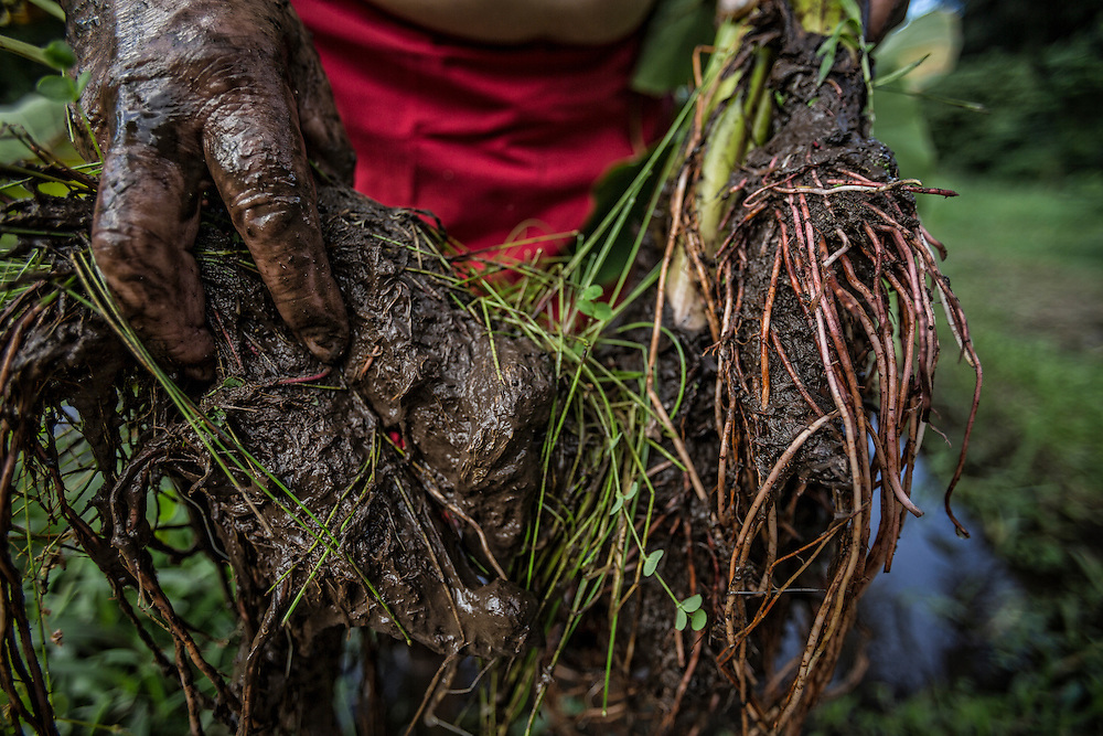 Freshly pulled taro root pulled from the lo'i by Anakala Pilipo Solatorio in Halawa Valley on Molokai. ©PF Bentley