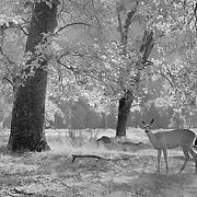 Lone Deer Meadow Edge - Yosemite Valley - Infrared Black & White