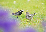 PIED WAGTAIL in garden at home in Rostherne 13 June 2011