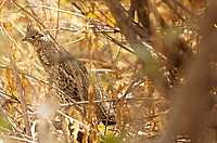 A Ruffed Grouse holds tight in the thick undergrowth in the mountains of northern Utah.