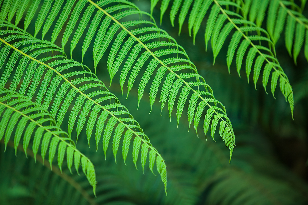 Ferns, Sachatamia Lodge, Mindo, Pichincha province, Ecuador, South America.  PR