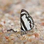 Caleta roxus pothus, the Straight Pierrot Butterfly.