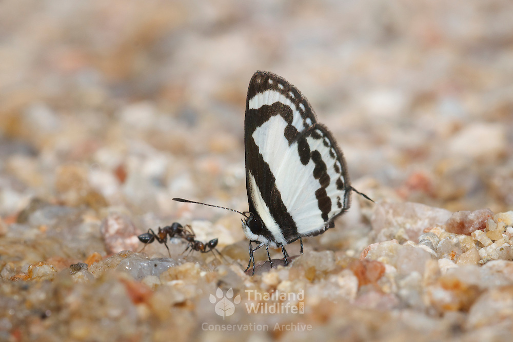 Caleta roxus pothus, the Straight Pierrot Butterfly.