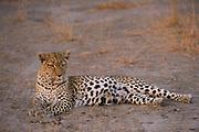 Leopard ((Panthera pardus) Female<br /> Moremi Game Reserve, Okavango Delta<br /> BOTSWANA<br /> RANGE: Sub-Saharan Africa. Fragmented populations in Pakistan, India, Sri Lanka, Indochina, Malaysia, and China.<br /> IUCN: Near Threatened