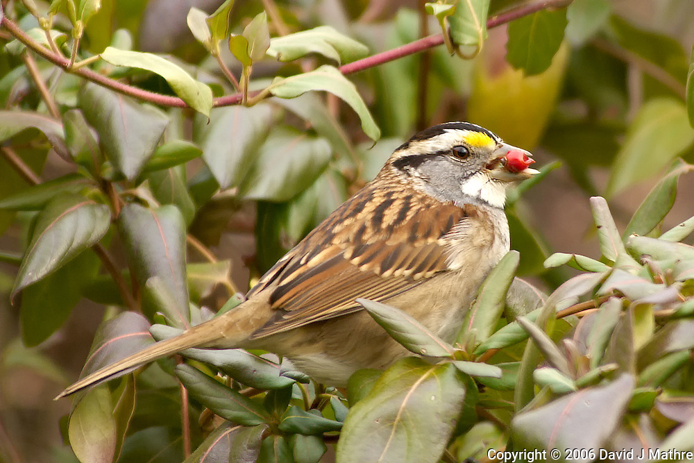 White-throated Sparrow with Red Berry. Image taken with a Nikon D2xs and 80-400 mm VR lens (ISO 400, 400 mm, f/6, 1/160 sec).