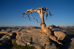 Lone Tree on a rock in Yosemite National Park, CA