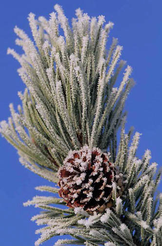 Yellowstone National Park, Lodgepole pinecone covered with frost.