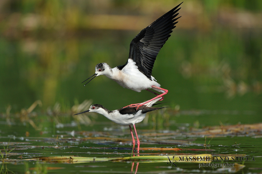 The Black-winged Stilt, Common Stilt, or Pied Stilt (Himantopus himantopus) is a widely distributed very long-legged wader in the avocet and stilt family (Recurvirostridae). Opinions differ as to whether the birds treated under the scientific name H. himantopus ought to be treated as a single species and if not, how many species to recognize. Adults are 33&ndash;36 cm long. They have long pink legs, a long thin black bill and are blackish above and white below, with a white head and neck with a varying amount of black. Males have a black back, often with greenish gloss. Females' backs have a brown hue, contrasting with the black remiges. In the populations that have the top of the head normally white at least in winter, females tend to have less black on head and neck all year round, while males often have much black, particularly in summer. This difference is not clear-cut, however, and males usually get all-white heads in winter.<br /> Immature birds are grey instead of black and have a markedly sandy hue on the wings, with light feather fringes appearing as a whitish line in flight.