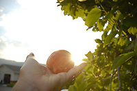 A fresh ripe peach is held up to the setting sun in the Okanagan, BC Canada.