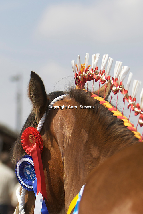 Mr Richard Bedford's Hartcliff Rihanna<br /> f 2011  <br /> s Boothay Richard<br /> <br /> Reserve Champion Shire<br /> Winner  2 year old Filly or Gelding Class
