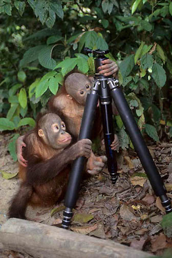 Orangutan, (Pongo pygmaeus) Pair of juvenile buddies in Sepilok Forest Rehabilitation Center playing with photographer's tripod.  Borneo. Malaysia. Controlled Conditons.