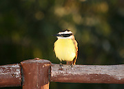 Great Kiskadee perched on a wooden fence on the Yucatan Peninsula.