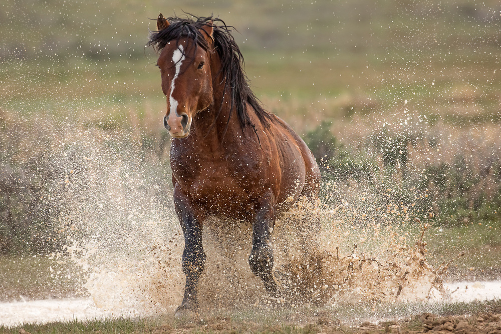 The young stallion, Sundance, splashes through the water as he lunges towards two bachelor stallions fighting nearby.