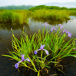 Large Blue Flag, Iris versicolor, on East Inlet in Pittsburg, New Hampshire.  Connecticut River Headwaters Region.