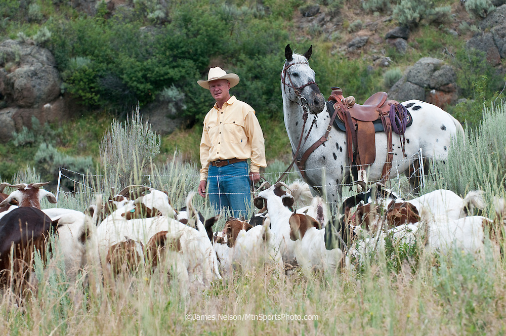 Mark Harbaugh, Patagonia fly fishing representative and goat rancher, herds his chemical-free noxious weed control crew into a temporary pen to graze on a patch of leafy spurge in east Idaho.