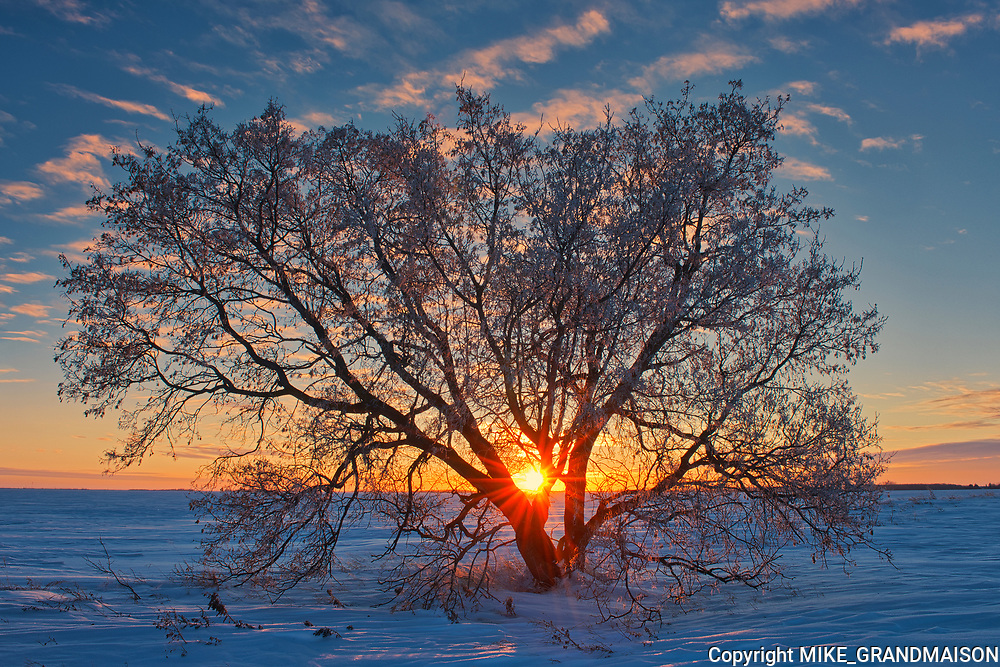 Sunset on Manitoba maple trees   (Acer negundo) <br />