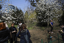 April 13, 2018 - Kiev, Ukraine - People take a pictures in the first bloom of magnolia trees at the botanical garden in Kyiv, Ukraine, April 13, 2018. The first Magnolia trees start to blossom with white and pink flowers at Fomin Botanical Garden  (Credit Image: © Sergii Kharchenko/NurPhoto via ZUMA Press)