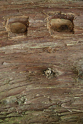 Fallen Western Red Cedar (Thuja plicata) Log Close-up, San Juan Island, Washington, US