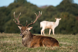 © Licensed to London News Pictures. 27/10/2018. London, UK. A deer stag sits in bright and sunny conditions in Richmond Park, west London as a cold front hits the capital. snow is expected on high ground in northern parts of the UK over the weekend. Photo credit: Ben Cawthra/LNP
