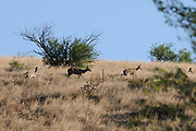 Mule deer traverse the grasslands along 92, Gardner Canyon Road, in the foothills of the Santa Rita Mountains, Sonoita, Arizona, USA.