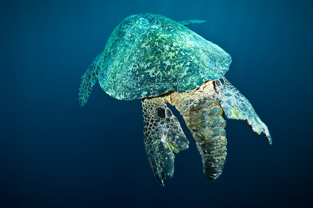 The tail of a green turtle, Sipadan, Sabah, Malaysia.  The males use the tail to grip the female when mating.