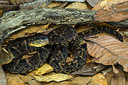 Brazil's lancehead (Bothrops brazili)<br /> Morona Santiago<br /> Amazon<br /> South East ECUADOR. South America<br /> Captive