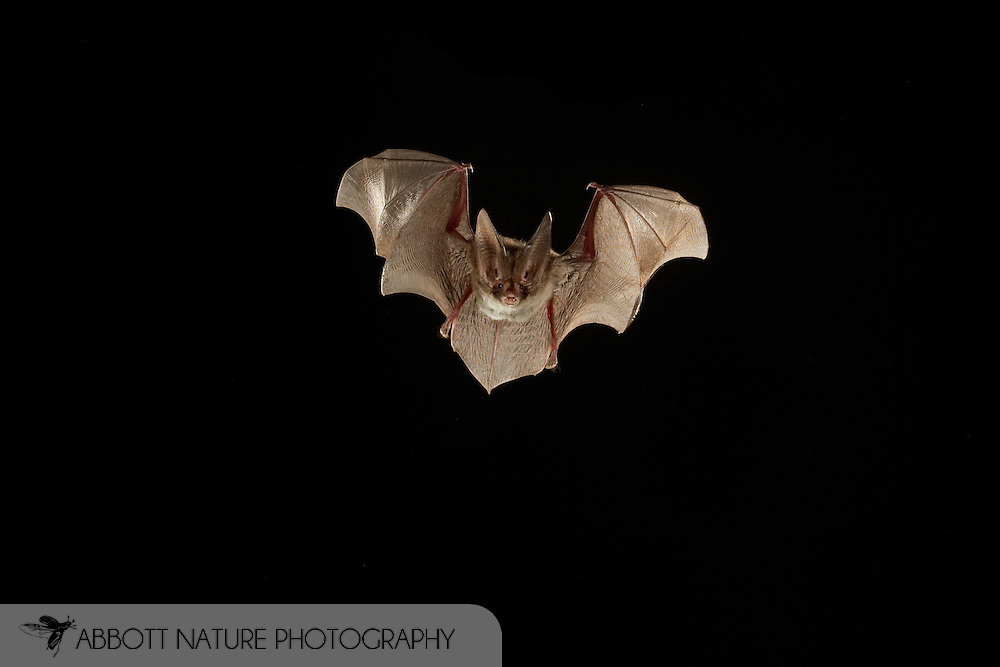 Corynorhinus rafinesquii, Rafinesque's Big-eared Bat: Mammalia, Chiroptera, Vespertilionidae<br /> TEXAS: Polk Co.<br /> Big Sandy Creek Unit of Big Thicket National Preserve<br /> east of Livingston<br /> 30.Mar.2009<br /> J.C. Abbott